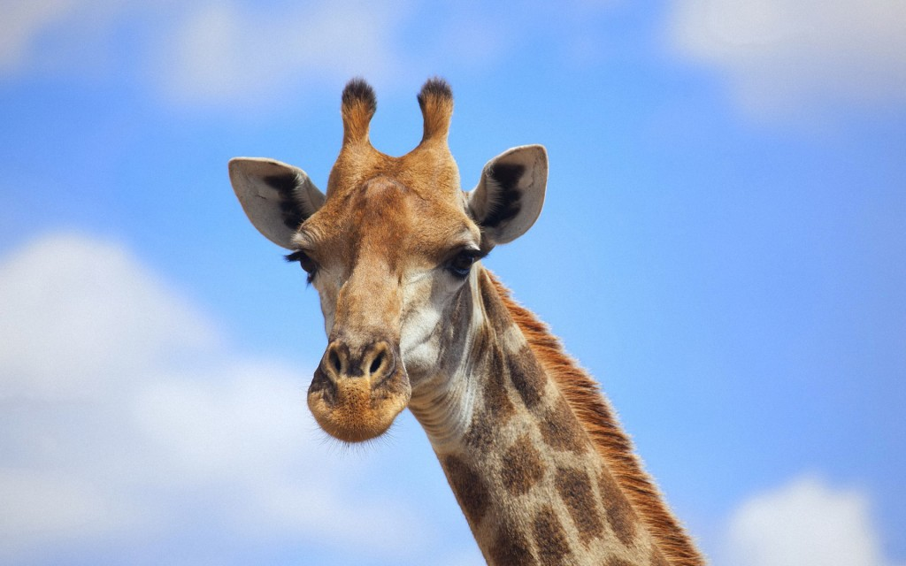 baby-giraffe-wallpaper